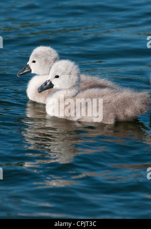 Baby Swans only 2 days old seen in Cambourne, Cambridgeshire. UK. - Stock Photo