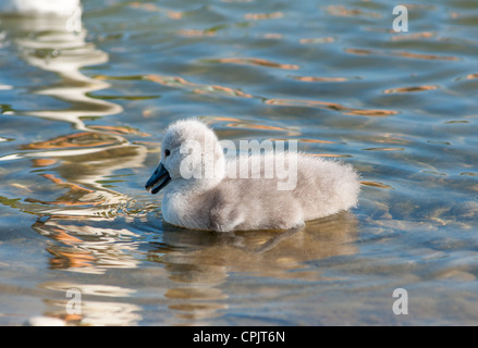 Baby Swan (signet) only 2 days old, looks at mum's reflection in water. Cambourne, Cambridgeshire. UK. - Stock Photo