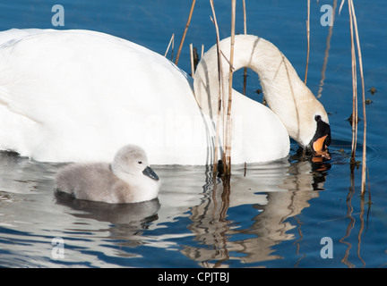 Baby Swan (cygnet) only 2 days old seen in Cambourne, Cambridgeshire. UK. - Stock Photo