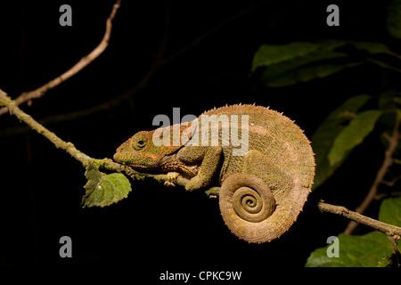 Panther Chameleon (Furcifer pardalis), Ranomafana, Madagascar - Stock Photo