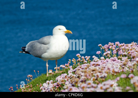 A seagull standing next to flowering pink thrift high on the cliffs above Portreath in Cornwall UK. - Stock Photo