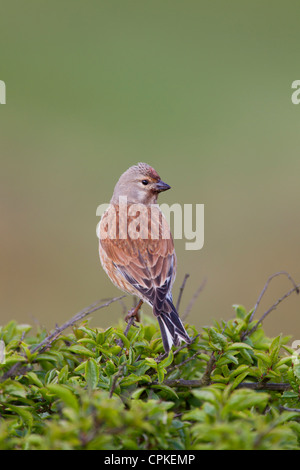 Common Linnet Carduelis cannabina male perched at Nash Point, Wales in May. - Stock Photo
