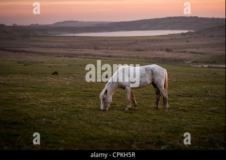 Moorland pony at Rough Tor or Roughtor on Bodmin Moor, Cornwall - Stock Photo