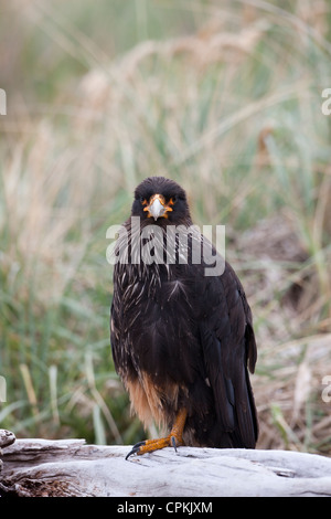 Striated Caracara (Phalcoboenus australis), adult, on Carcass Island in the Falklands. - Stock Photo