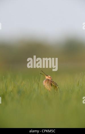 Great Snipe in a field in Belarus - Stock Photo
