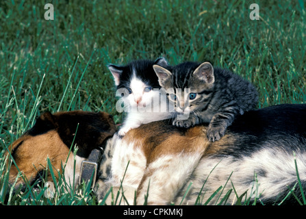 Two kittens sitting on the side of a sleeping beagle pup in the summer grass, Missouri USA - Stock Photo