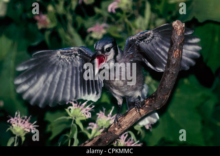 Juvenile Blue Jay (Cyanocitta cristata) flaps its wings and calls from perch in tree, Missouri USA - Stock Photo