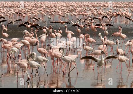 Lesser flamingos in Lake Nakuru - Stock Photo