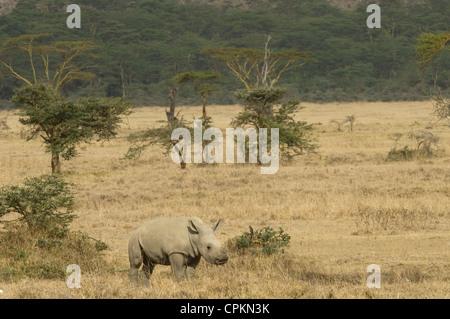White rhino calf in plains - Stock Photo