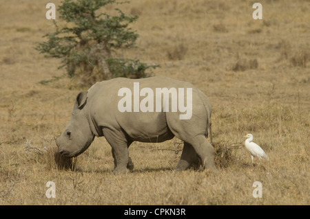 White rhino calf with cattle egret by it - Stock Photo