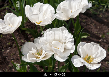lovely white tulip tulips bloom against green leaves brown earth in Clinton community garden on spring day New York - Stock Photo