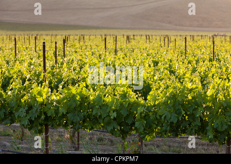California central valley vineyard in spring - San Luis Obispo County, California USA - Stock Photo