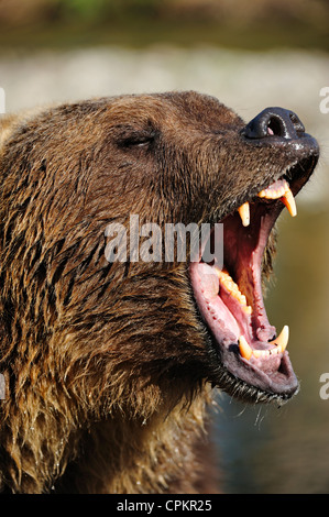 Grizzly bear (Ursus arctos)- captive snarling - Stock Photo