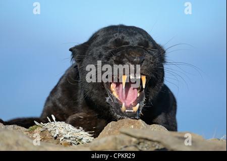 Melanistic black leopard (Panthera pardus)- captive - Stock Photo