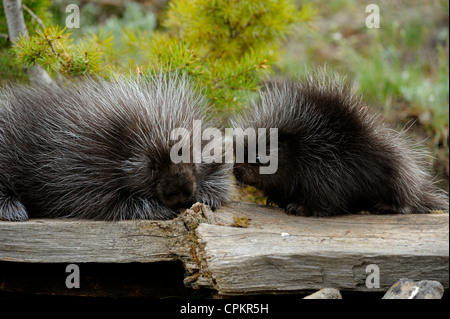 Porcupine (Erethizon dorsatum) Baby and adult- captive specimen, Bozeman, Montana, USA - Stock Photo
