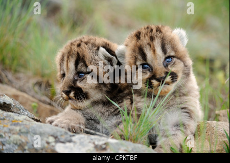 Mountain lion cougar puma (Puma concolor) kittens- captive specimen, Bozeman, Montana, USA