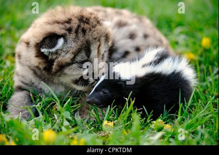 Mountain lion cougar puma (Puma concolor) kitten with baby skunk- captive specimen, Bozeman, Montana, USA - Stock Photo