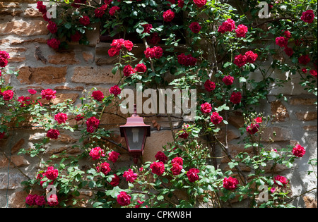 red roses on stone wall, ardeche, france - Stock Photo