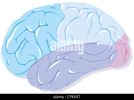 CEREBRAL LOBE - Stock Photo
