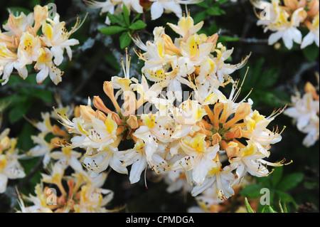 White & Yellow Azalea Rhododendron cultivar Uk - Stock Photo