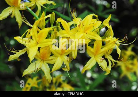 Yellow Azalea Rhododendron cultivar Uk - Stock Photo