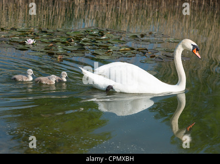 Mute swan mother and new born cygnets amongst reeds and lily pods. Cambridge, UK. - Stock Photo