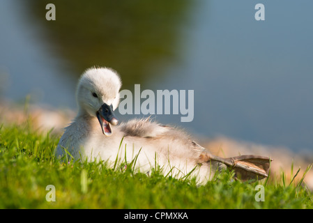 Mute swans with cygnets in morning light. Cambourne, Cambridgeshire, England. - Stock Photo