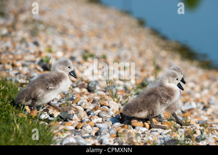Baby Swans only 4 days old, seen in Cambourne, Cambridgeshire. UK. - Stock Photo