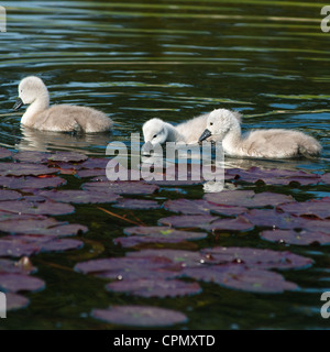 Baby Swans only 4 days old amongst lily pods, seen in Cambourne, Cambridgeshire. UK. - Stock Photo