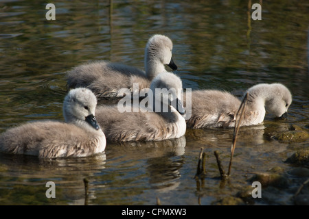 Baby Swans only 4 days old seen in Cambourne, Cambridgeshire. UK. - Stock Photo