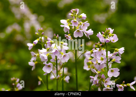 Cuckoo flower, Ladies Smock, (Cardamine pratensis), flowering in South Wales. - Stock Photo