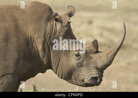 White rhino-head shot (floppy ear) - Stock Photo