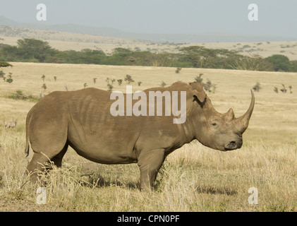 White rhino standing in plains (floppy ear) - Stock Photo