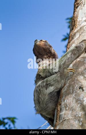 Bradypus tridactylus, three-toed sloth on a tree