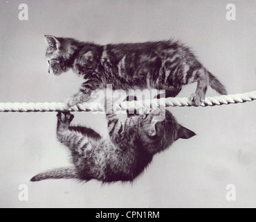 Two Kittens Crossing Suspended Rope in Opposite Directions - Stock Photo