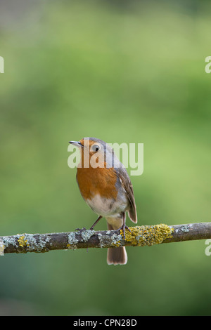 Robin perched on a branch against a green background - Stock Photo