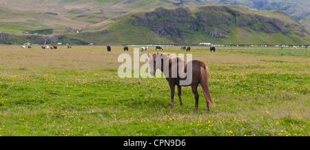 Icelandic horse in pasture, Iceland - Stock Photo