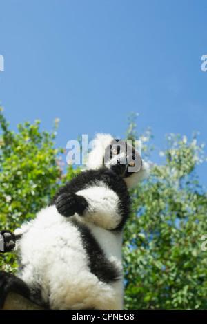 Black and white ruffed lemur (Varecia variegata) - Stock Photo