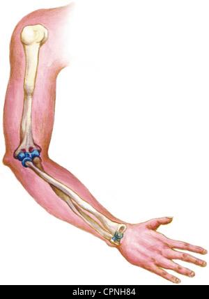 ARM, ANATOMY - Stock Photo