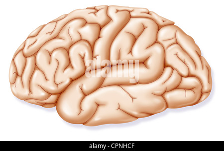 BRAIN, DRAWING - Stock Photo