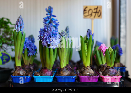 Hyacinth flower bulbs. - Stock Photo