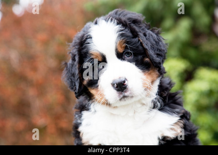 Six weeks old Bernese Mountain Dog puppy. - Stock Photo