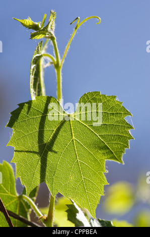 backlit green grape leaf and vine with blue sky - Stock Photo