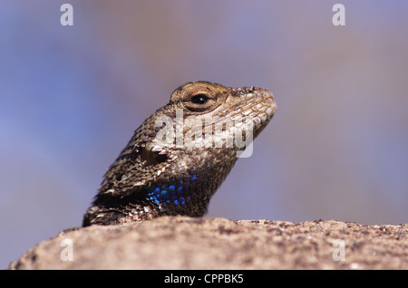 macro image of a plateau fence lizard head looking over a rock - Stock Photo