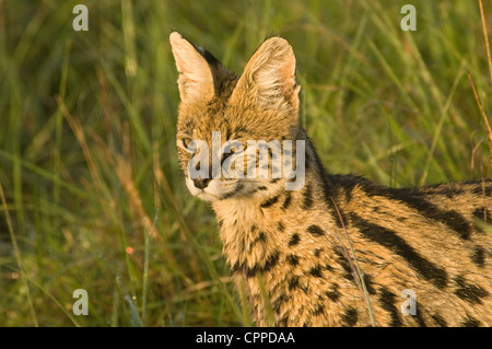 Serval cat-head shot - Stock Photo
