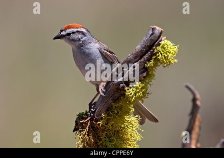 Chipping Sparrow (Spizella passerina) perched on a branch near a small pond at Cabin Lake, Oregon, USA in June. - Stock Photo