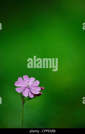 Silene dioica. Red Campion. Wildflower - Stock Photo