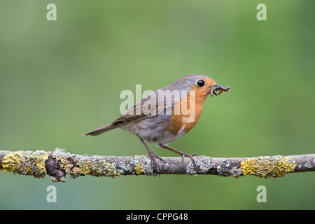Robin perched on a branch with grubs in its beak - Stock Photo