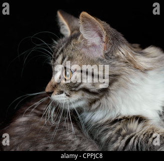 Portrait of a purebred Siberian kitten on a black background - Stock Photo