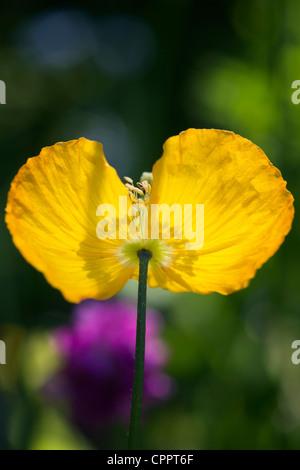 Meconopsis cambrica. Welsh Poppy flower - Stock Photo